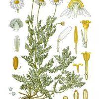 Chamaemelum_nobile_-_Köhler–s_Medizinal-Pflanzen-012